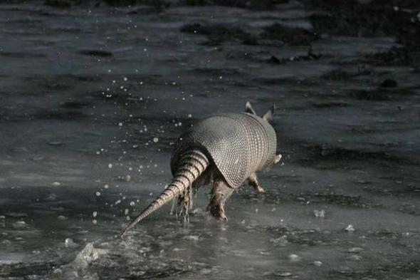 armadillo running